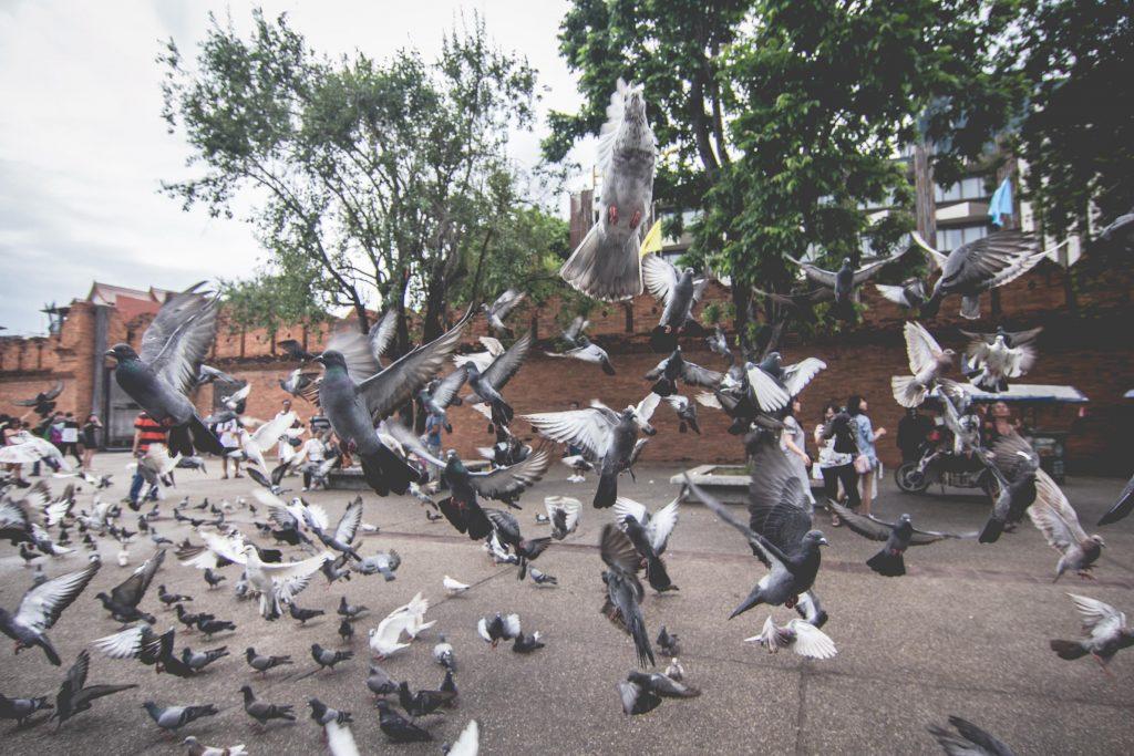 ฝูงนกพิราบ