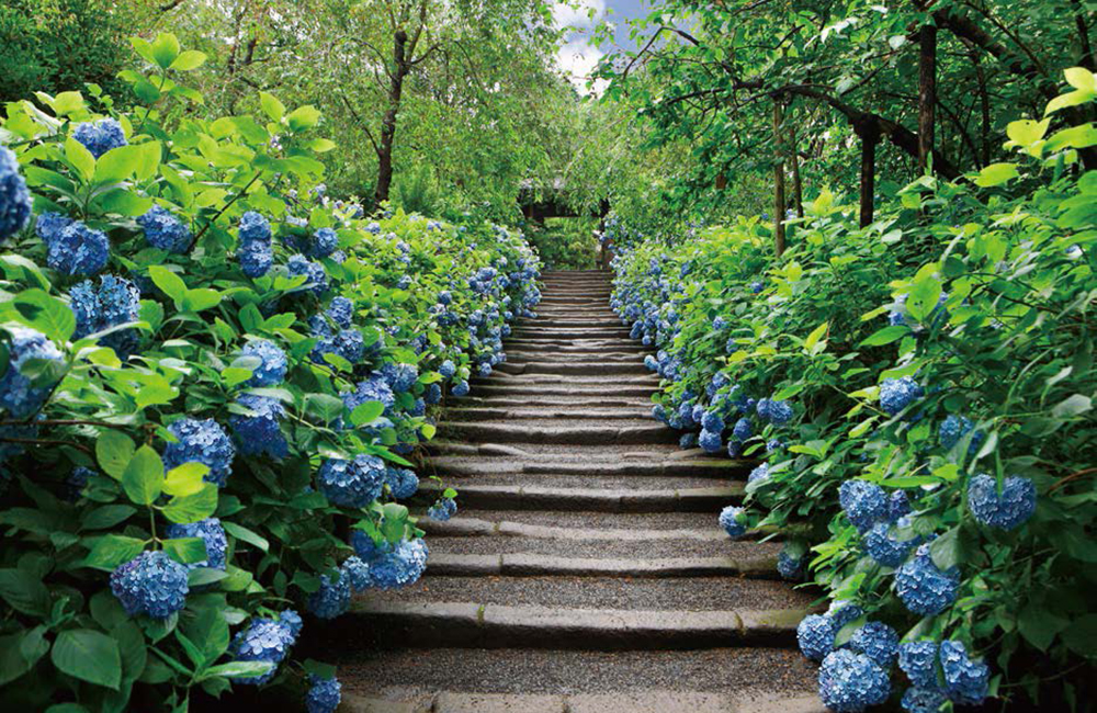 พระวิหารดอกไฮเดรนเยีย