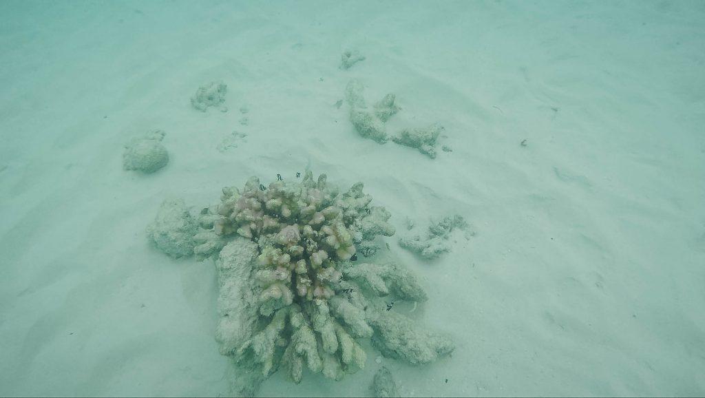 ปะการัง มัลดีฟส์
